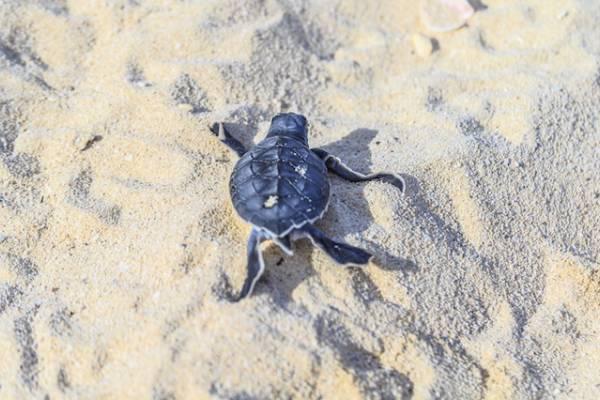 Cape San Blas Sea Turtle