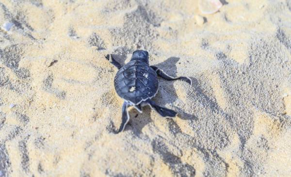 Turtle nesting season in Cape San Blas
